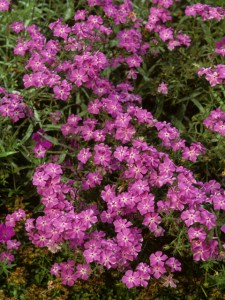 A mass of phlox