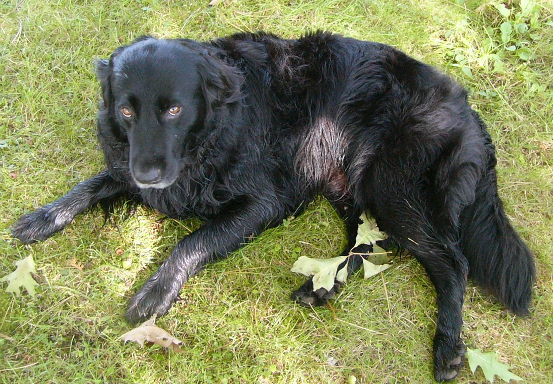 Black Lab Dog Male Lost Dog 11202 Hwy 224 Middle Musquodoboit Halifax Co