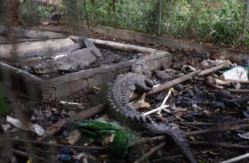 Medio Ambiente rescata tres cocodrilos de casa de Medio Ambiente