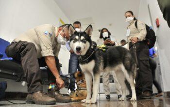 Agricultura inserta unidades caninas para detectar vegetales y carnes en equipajes de aeropuertos