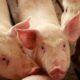 Ministerio de Agricultura y Banco Agrícola pagan 8.4 millones de pesos por cerdos sacrificados