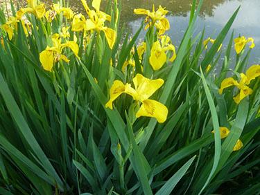 Iris galben