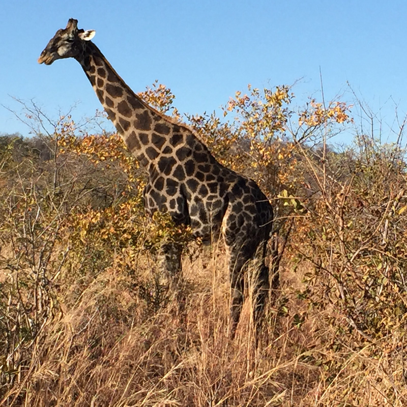 We drove around the bend and, suddenly, a giraffe! (Photo by Dr. A. Chauvet)