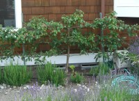 Backyard Orchard Culture: Too Good To Be True? | Northwest ...