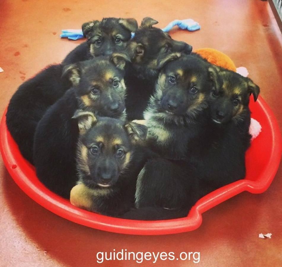 Guiding Eye Dogs Puppy