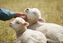 詩22 主是良牧 Good shepherd;  詩23 主是大牧 Great shepherd: V1-2 耶穌牧養 我不缺乏, V3-4 耶穌引導 我不迷失, V5-6 耶穌尊榮 我不羞辱;  詩24 主是首牧 Chief shepherd