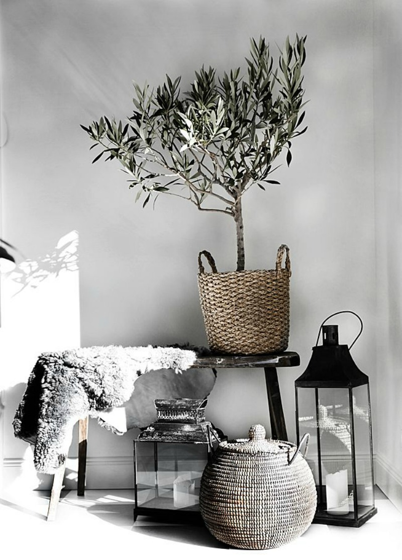 Olijfboom Woonkamer Kopen Trend Alert: Olive Trees For Indoor Decorating - Aol Lifestyle