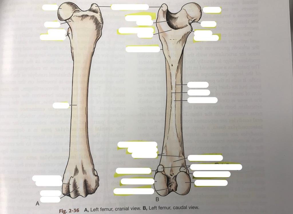 Exam 2 Osteology- Femur Diagram Quizlet