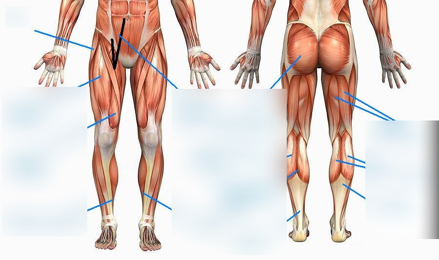 Anatomy and Physiology Thigh and Calf Diagram Diagram Quizlet