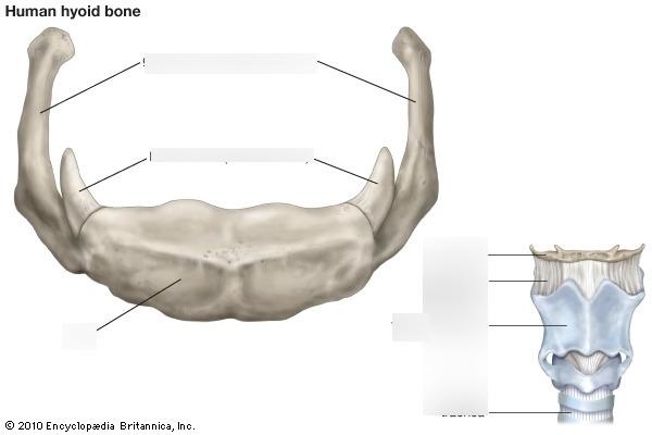 Hyoid Bone lab 2 exam Diagram Quizlet