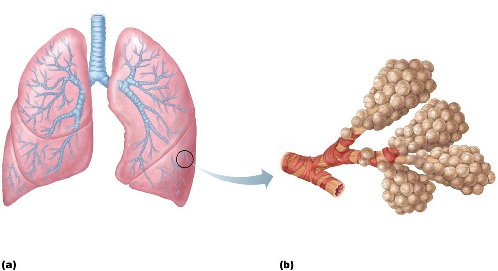 Lower Respiratory System Diagram Quizlet