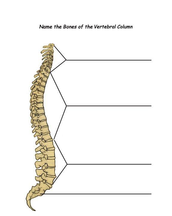 spine labeling Diagram Quizlet
