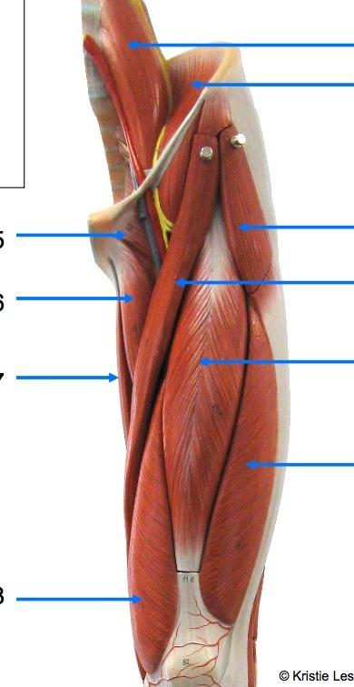 thigh muscles, anterior Diagram Quizlet