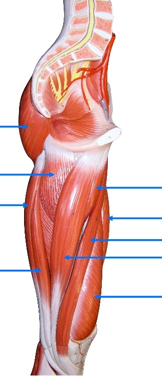 thigh muscles, medial view Diagram Quizlet