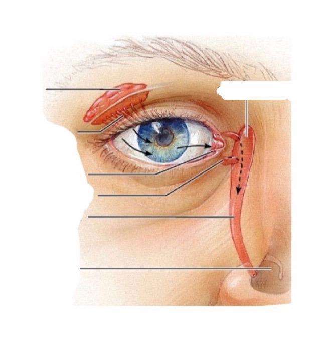 Lacrimal Apparatus Diagram Quizlet