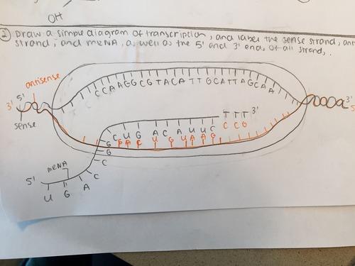 Test IB Bio 2 DNA Replication, Transcription, and Translation