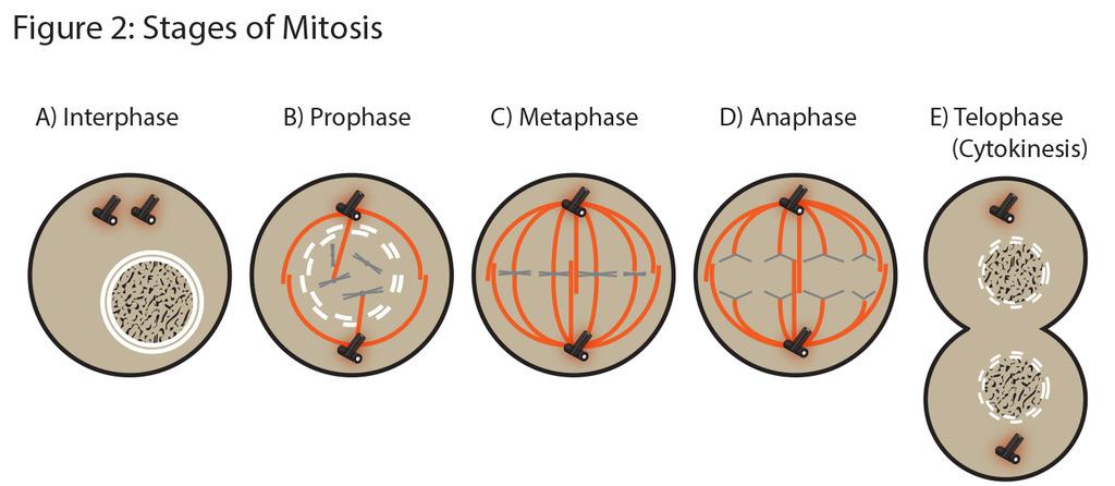 Biology Unit 3 Mitosis Diagram Quizlet