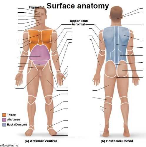 anatomical position lab Flashcards Quizlet