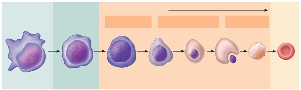 Figure 175 Erythropoiesis formation of red blood cells Diagram