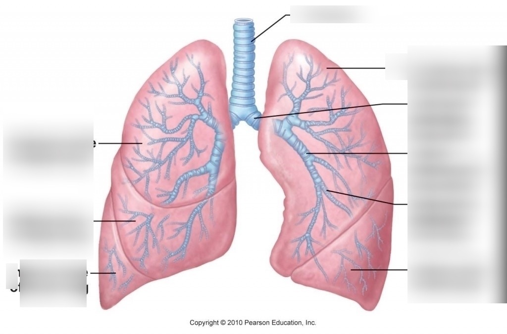 Human Biology Lower Respiratory System Diagram Quizlet
