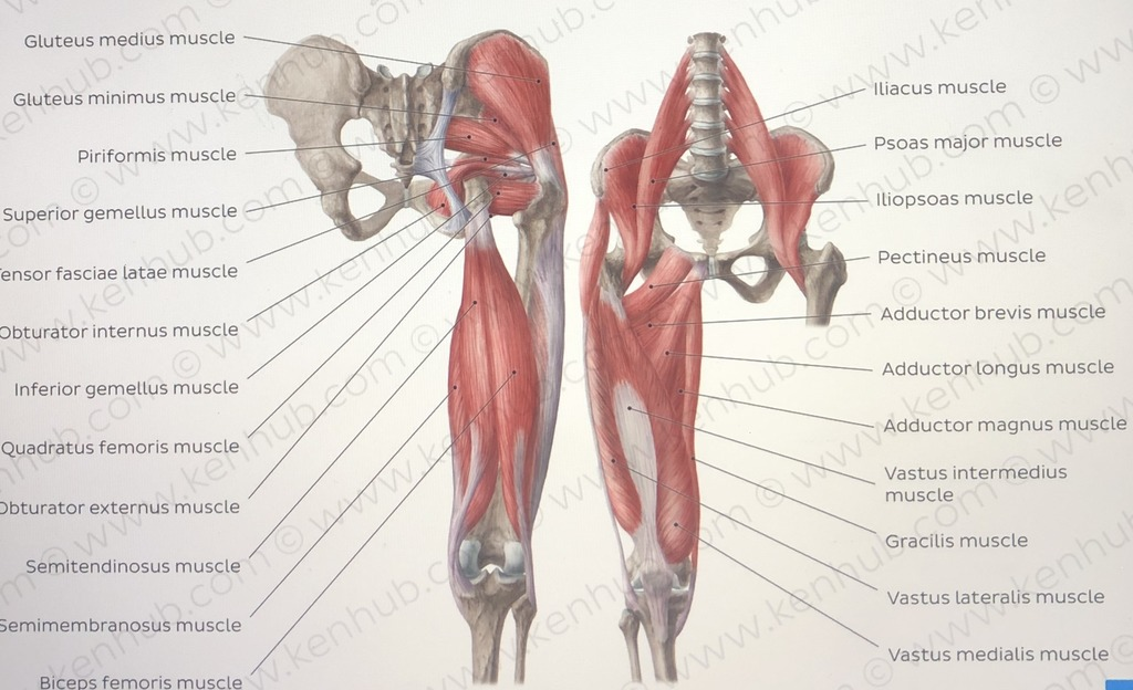 MUSCLES IN HIP THIGH AND GLUTEAL REGION Diagram Quizlet