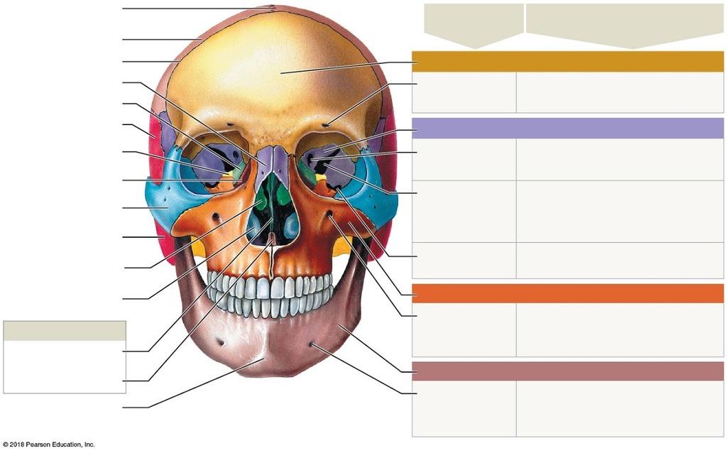 Human AP Lab Exam 2 (facial) Diagram Quizlet