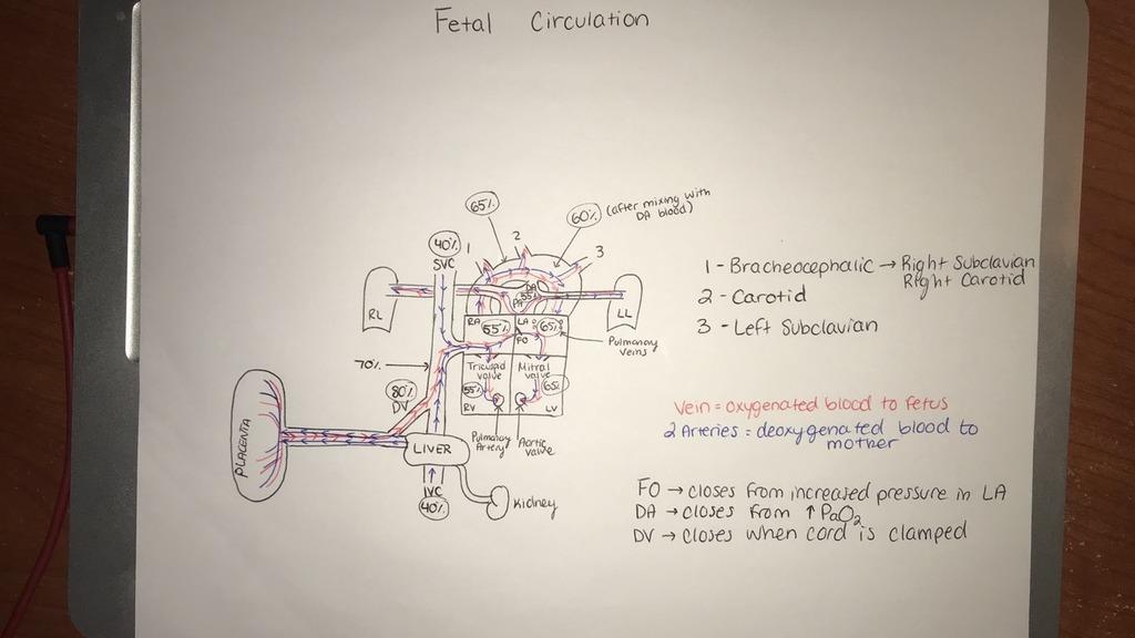 Fetal Circulation Diagram Quizlet