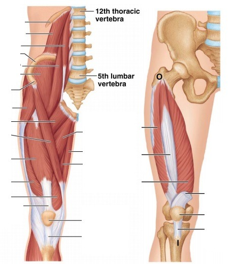 ANAT 3001 - Muscles of the Hip and Thigh (2) Diagram Quizlet