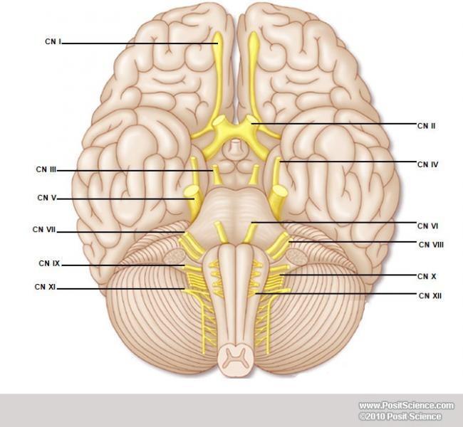 12 Cranial Nerves labeling Diagram Quizlet