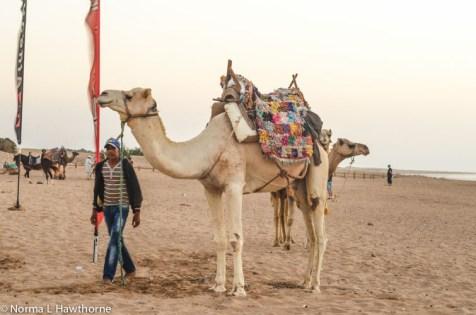 Sept24_CamelsSunset-10