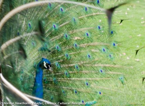 Peacocks-4