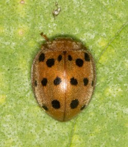Small Of Mexican Bean Beetle
