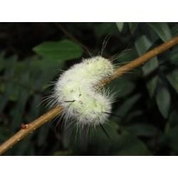 Small Crop Of American Dagger Moth