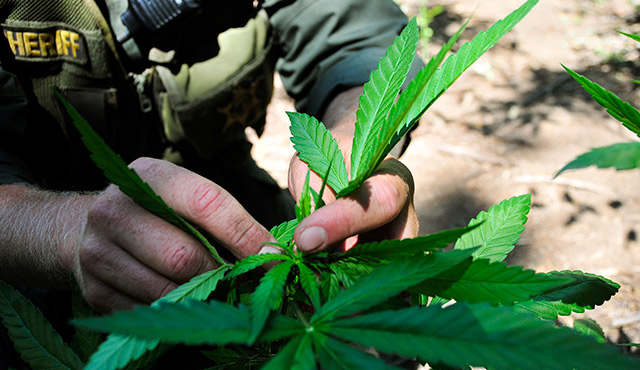 A law enforcement officer is seen in 2010 pulling marijuana plants out of the Sierra Nevada mountain range in California. If voters legalize marijuana in California Nov. 8, the cannabis industry can expect sales to increase to $6.5 billion by 2020, a new cannabis industry marketing report predicts. / PHOTO: (CNS photo/Fresno County Sheriff's Office via EPA)