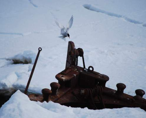 Antarctic Terns