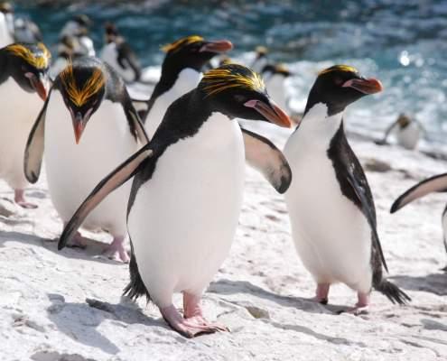 Rockhopper penguins Island of South Georgia