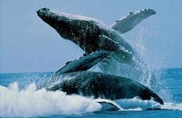Yay, Humpbacks!