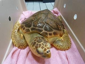 Loggerhead-Sea-Turtle-NOAA