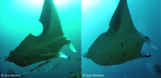 Figure 3: A manta which has a fresh bite wound (left) has healed remarkably well just a year later (right).