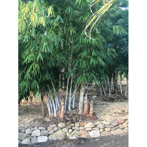 Medium Crop Of Golden Goddess Bamboo