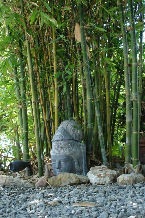 Medium Of Buddha Belly Bamboo