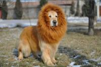 Dog Lion Mane Costume