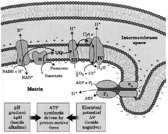 bioenergetica5
