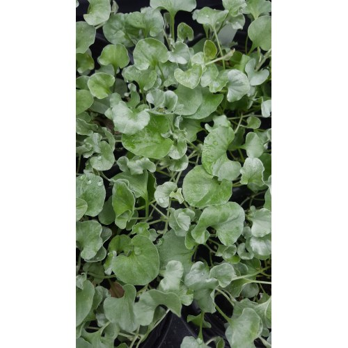Medium Crop Of Dichondra Silver Falls