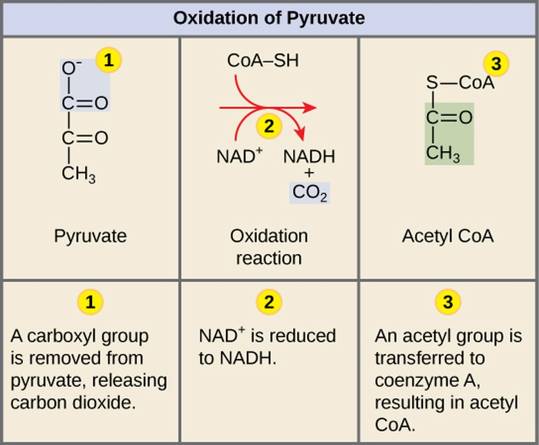 Biology, The Cell, Cellular Respiration, Oxidation of Pyruvate and