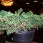 San Jose Juniper (Juniperus chinensis 'San Jose') before the demonstration