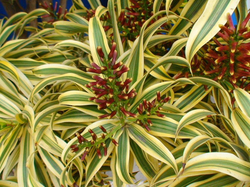 Large Of Song Of India Plant