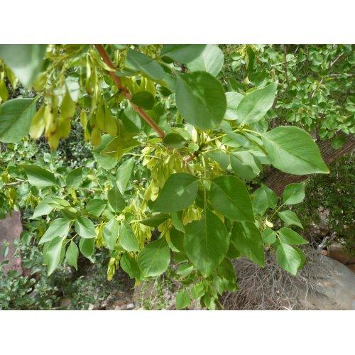 Medium Crop Of Ash Tree Seeds