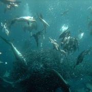 Cape Gannets gorging themselves