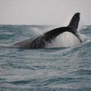 Playful humpback whale behaviour
